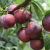 Đặc sản trái cây Sapa