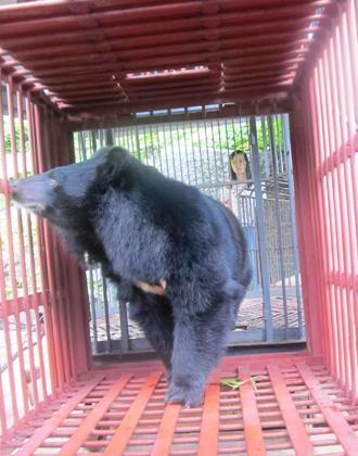 Chú gấu còn sót lại cuối cùng của đảo Cát Bà