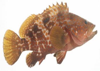 Cá song