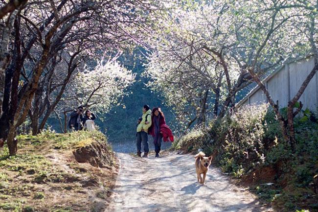 Khách du lịch thích thú ngắm vẻ đẹp Mai Châu mùa hoa ban nở