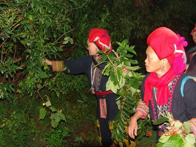 Người Dao đỏ Sapa đi lên núi hái thuốc