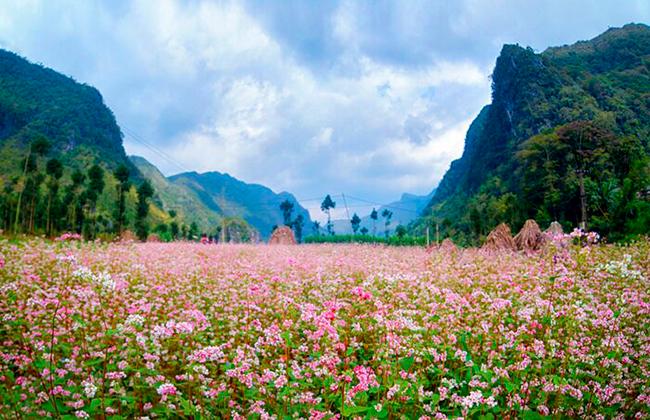 Mùa hoa tam giác mạch thơ mộng trên vùng đất Hà Giang